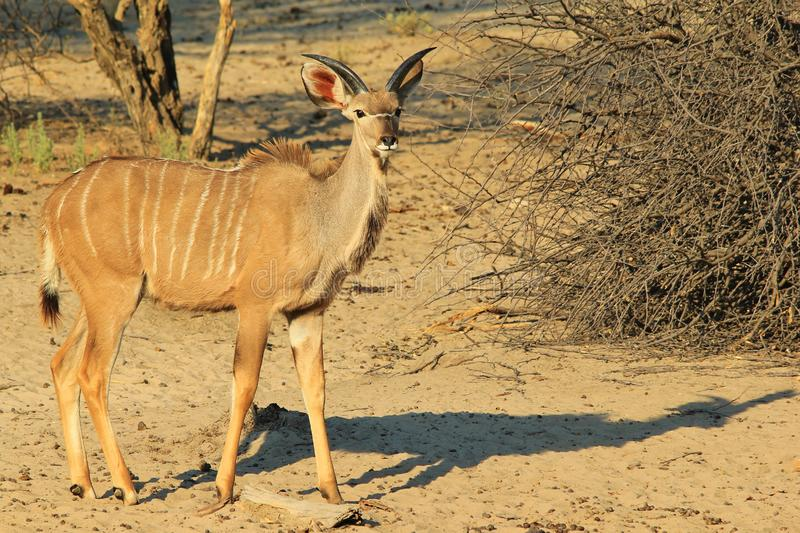 Kudu羚羊-非洲野生生物背景-年轻公牛 库存图片
