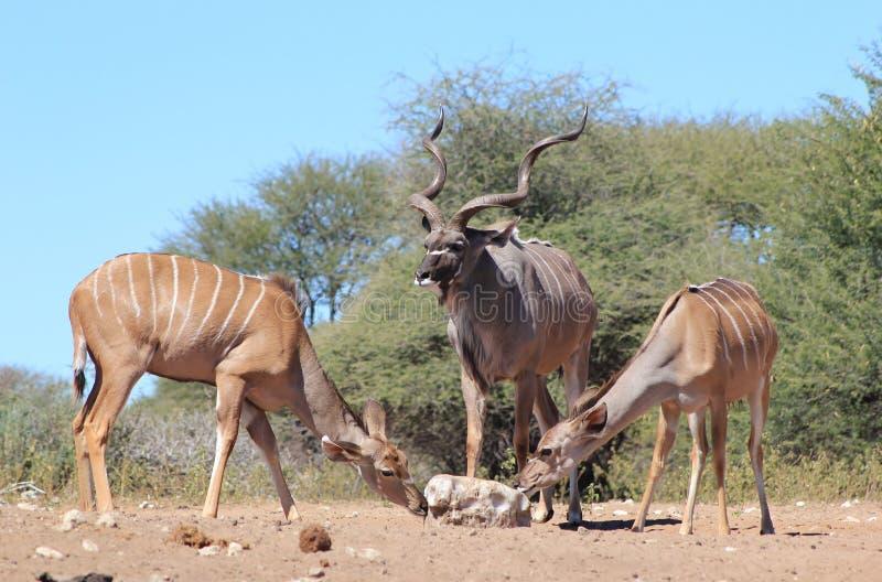 Kudu羚羊-非洲家庭和盐 免版税库存照片