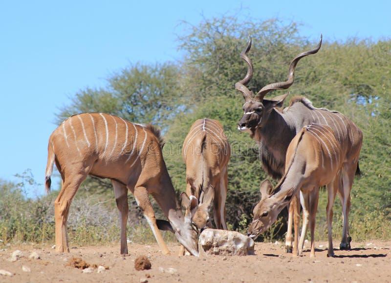 Kudu羚羊-非洲家庭 库存照片