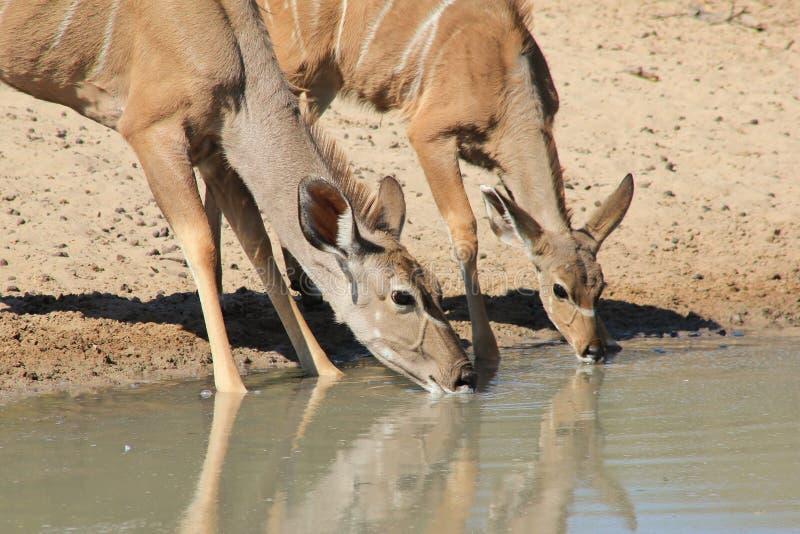 Kudu羚羊-非洲野生生物-动物妈妈和婴孩份额浇灌 图库摄影