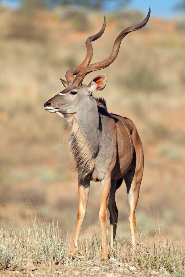 Kudu羚羊 免版税库存图片
