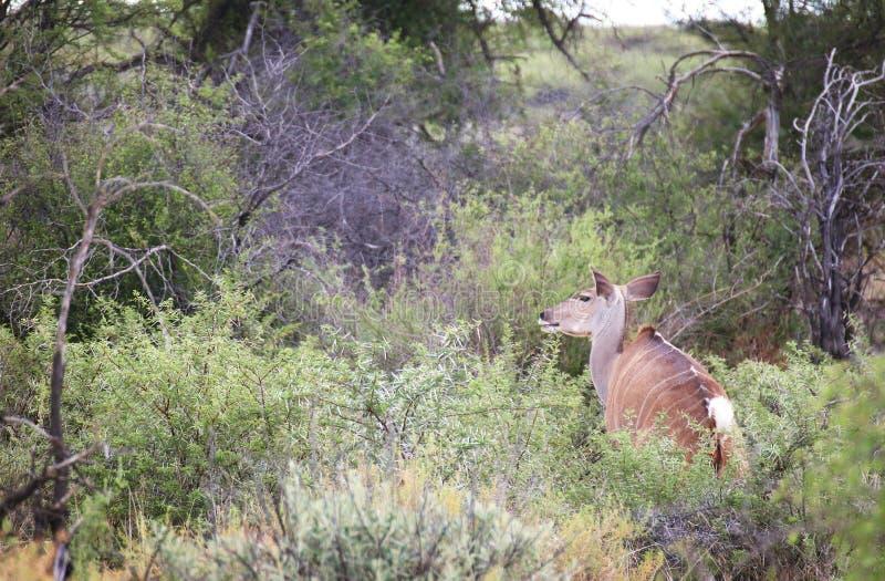 Kudu foto de archivo libre de regalías