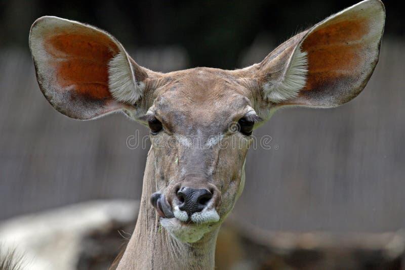 Download Kudu stock photo. Image of alert, wild, herbivore, wildlife - 1701396