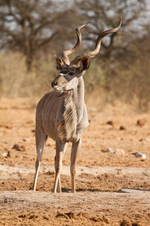 kudu arkivfoto