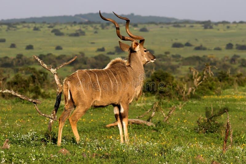 Kudu fotografía de archivo libre de regalías