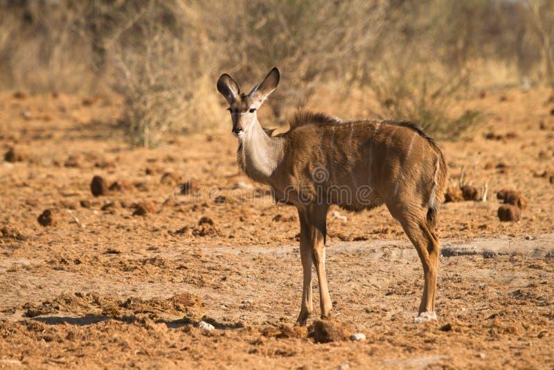 Download Kudu stock photo. Image of neck, animal, stripes, greater - 18388550