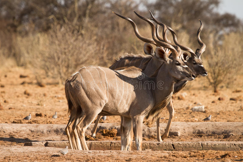 kudu arkivbild