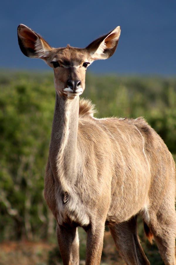 Kudu royalty free stock images