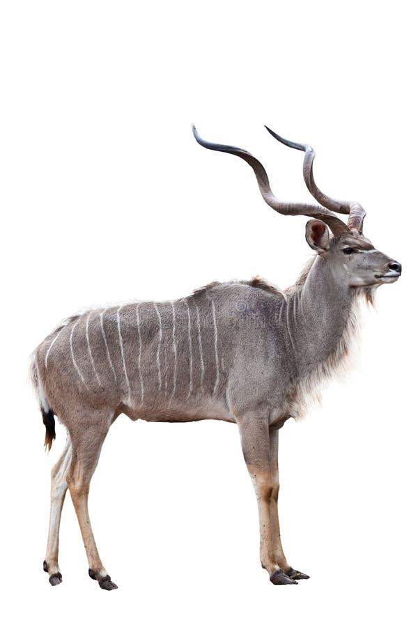 Kudu Royalty Free Stock Photo