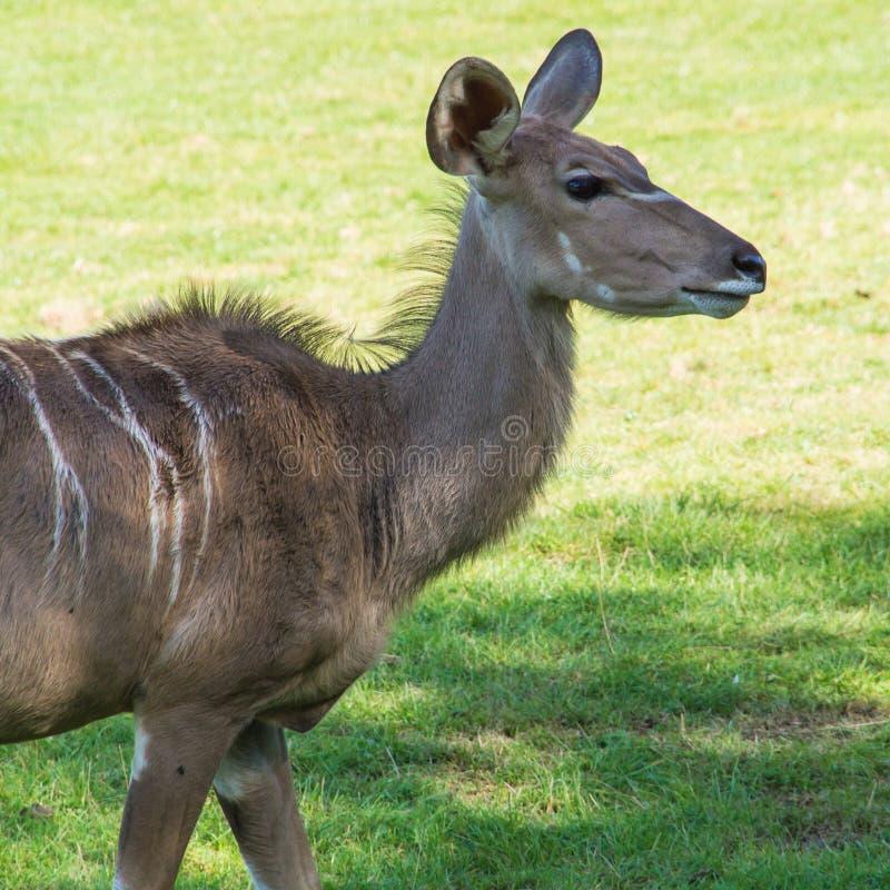 Download Kudu stock photo. Image of mammal, kudu, alert, ears - 28030296
