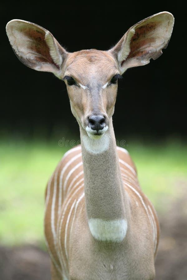 kudu 免版税库存图片