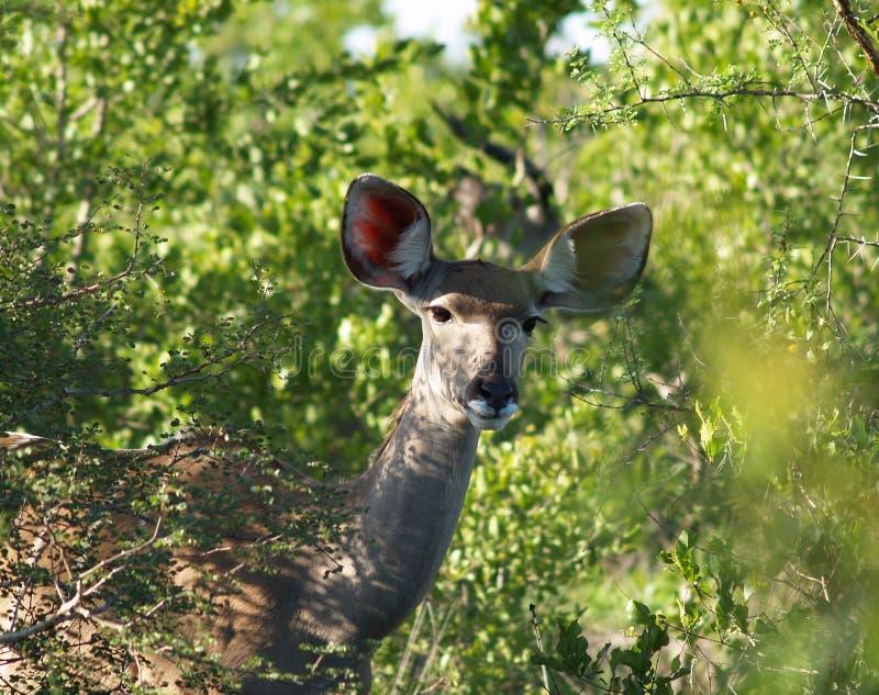 Kudu 图库摄影