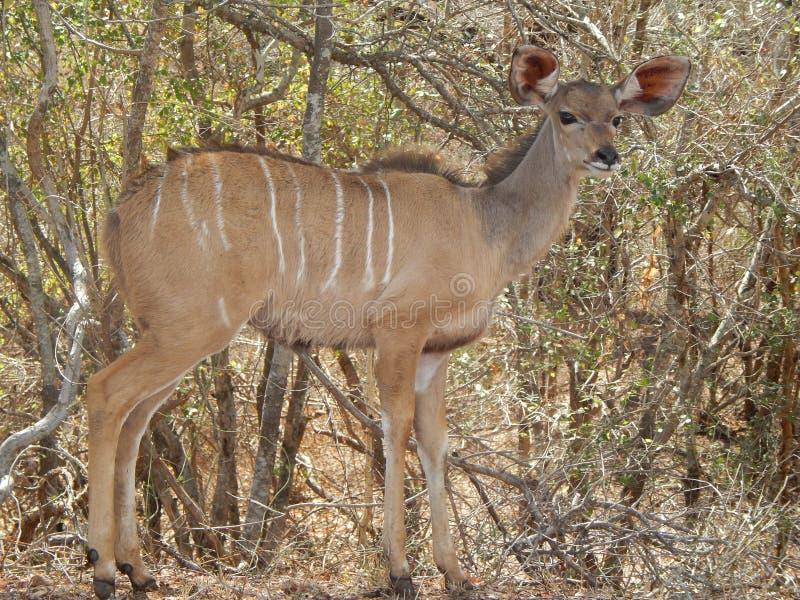 Kudu стоковая фотография rf