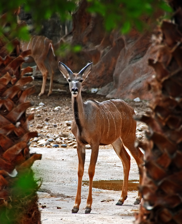 kudu στοκ εικόνες με δικαίωμα ελεύθερης χρήσης