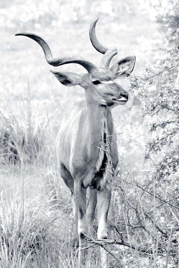 Kudu africano salvaje fotos de archivo