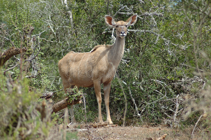 Kudu antelope royalty free stock photography