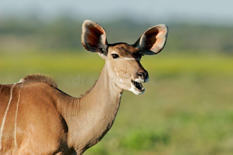 Download Kudu antelope stock photo. Image of namibia, antelope - 1417372
