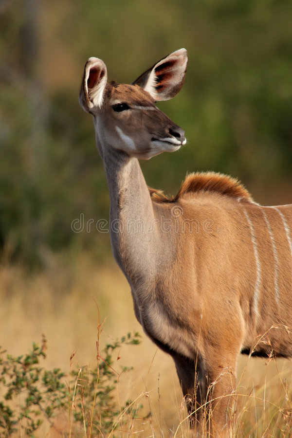Download Kudu antelope stock photo. Image of female, animal, wildlife - 9188090