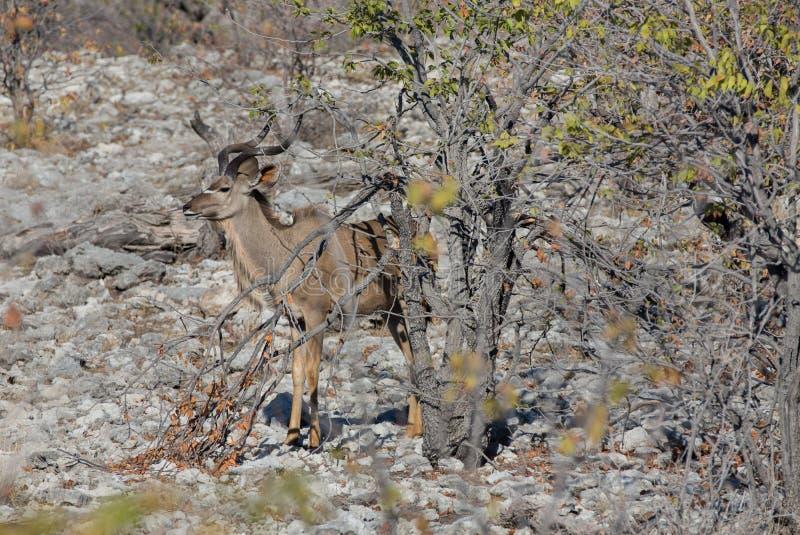 Download Kudu Antelope Royalty Free Stock Images - Image: 35170879