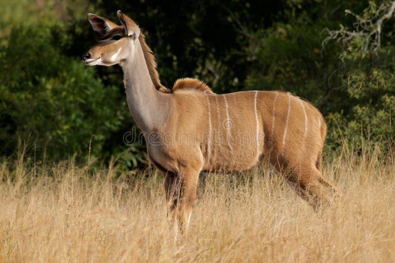 Download Kudu Antilope stockbild. Bild von unspoiled, säugetier - 9092981