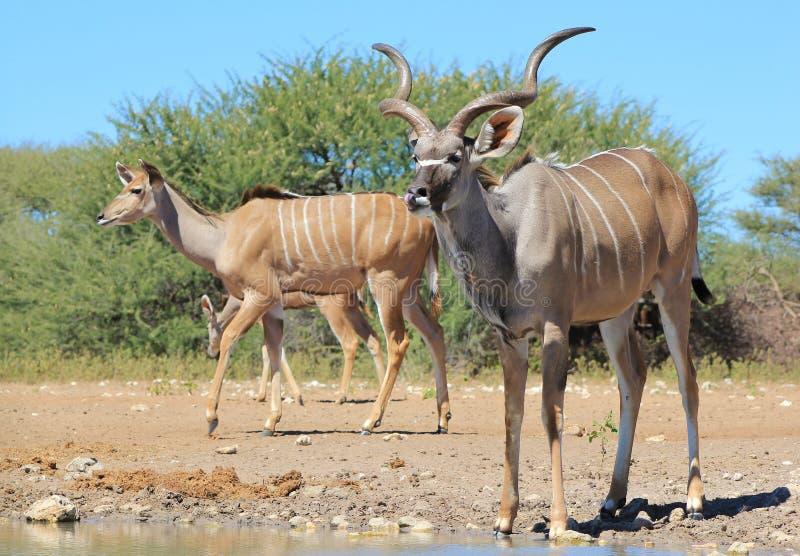 Kudu antylopa - Afrykańska rodzina lampasy zdjęcie royalty free