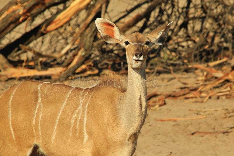 Kudu antylopa Wielcy ucho na bloku - Afrykański przyrody tło - obrazy stock