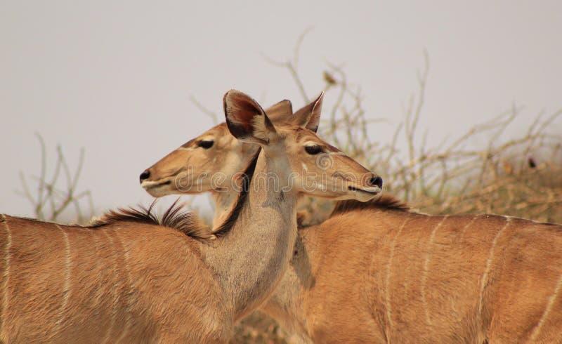 Kudu Antylopa - Złudzenie dwugłowa krowa obraz stock