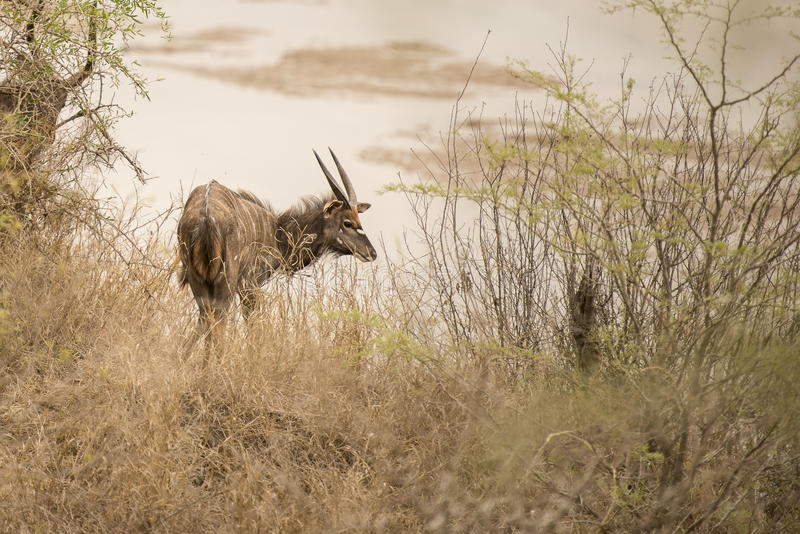 Kudu ao lado do lago foto de stock royalty free