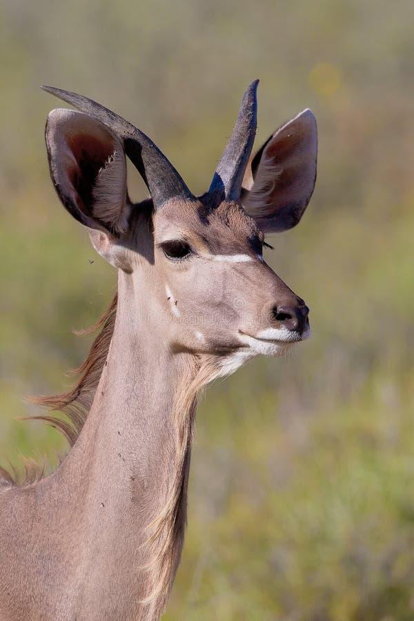 Kudu Bull fotografie stock libere da diritti