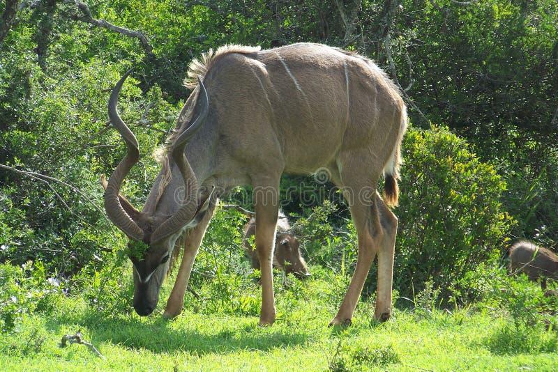 Kudu Bull stockbild