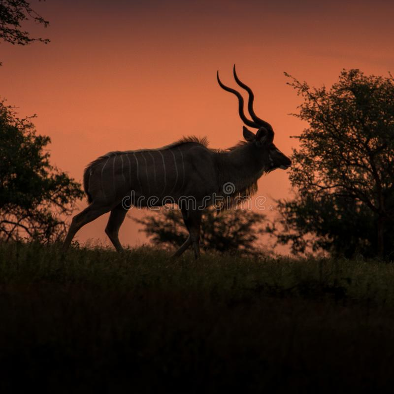 Kudu Bull at Dusk. A lone kudu bull moves along a ridgeline at dusk, silhouetted against evening sky royalty free stock photography