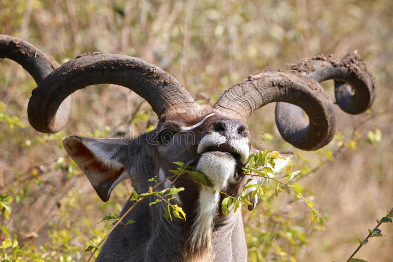 Kudu. Bull eating in the Kruger National Park, South Africa royalty free stock photo