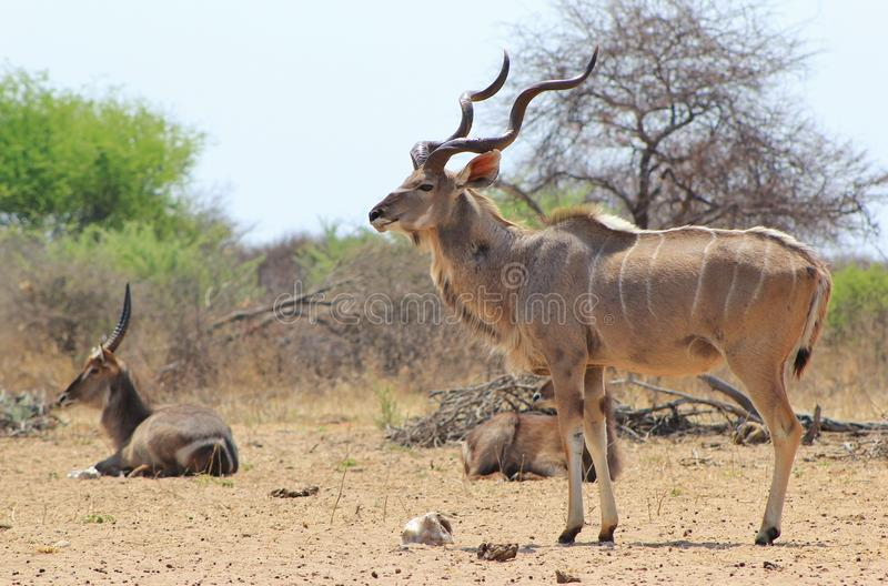 Kudu bull and Waterbuck at Salt block. Adult Kudu bull with a Waterbuck bull in the background at a watering hole. Photo taken on a game ranch in Namibia, Africa royalty free stock photography
