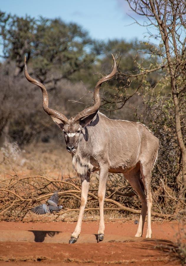 Kudu byk obrazy stock
