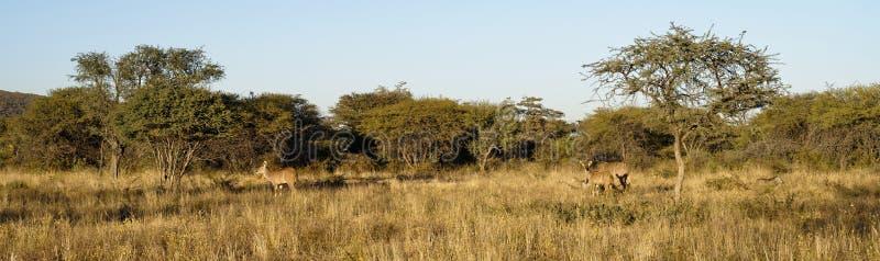 Kudu a camouflé dans le bushveld à la réserve naturelle d'Okonjima, Namibie image stock