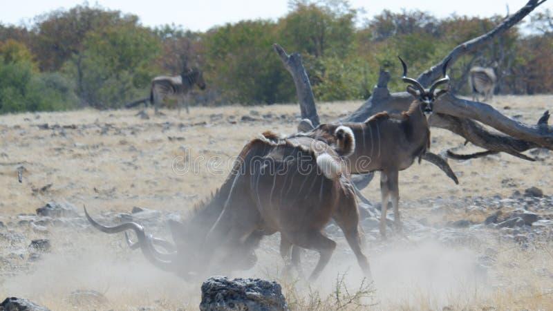 Kudu de combat image stock