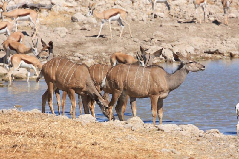 Kudu In Etosha Stock Image