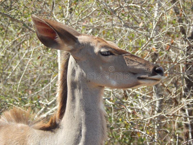 Kudu ewe head stock image