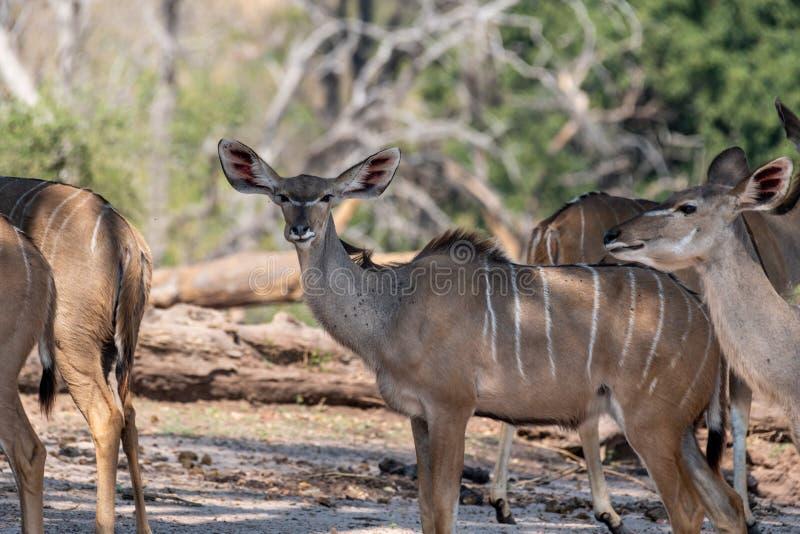 Kudu fêmea nos pantanais no rio do chobe em botswana em África foto de stock royalty free