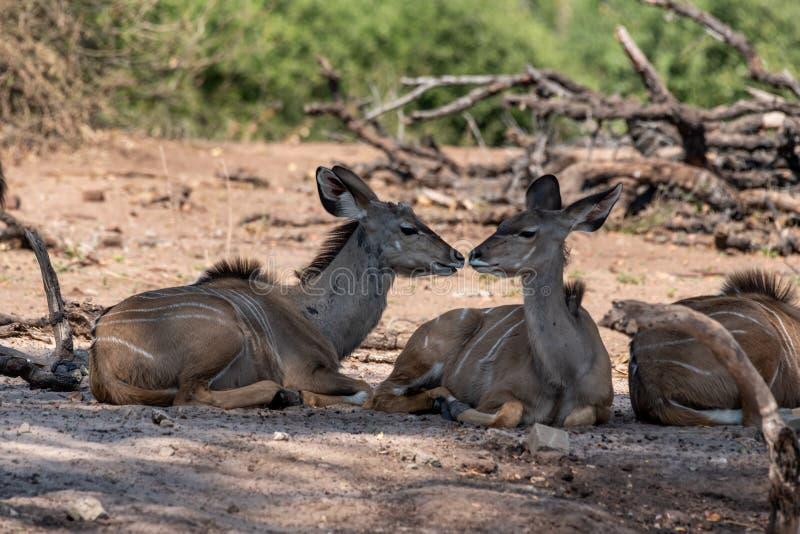 Kudu fêmea nos pantanais no rio do chobe em botswana em África imagens de stock royalty free