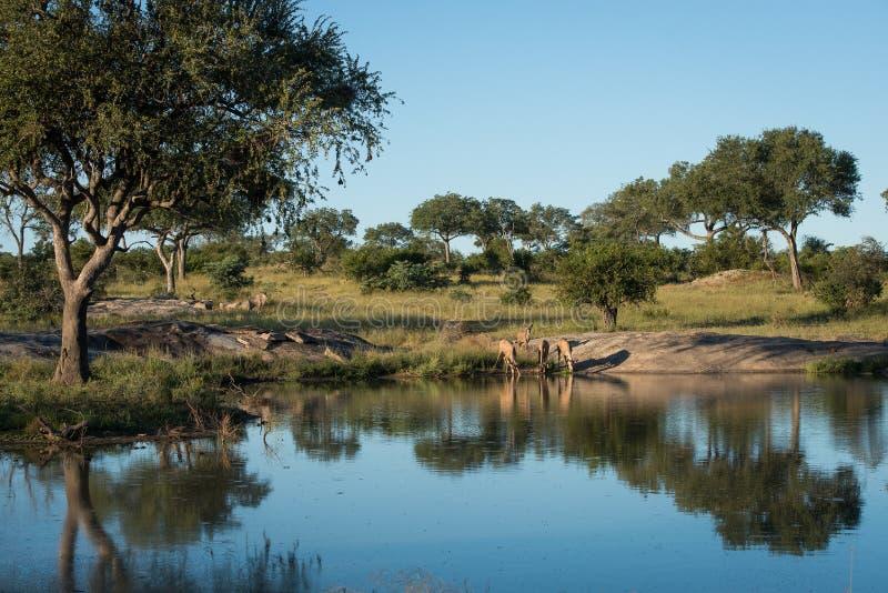 Kudu flock på en waterhole arkivfoto