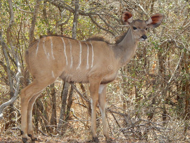 Kudu. Full body photo of kudu ewe royalty free stock photography