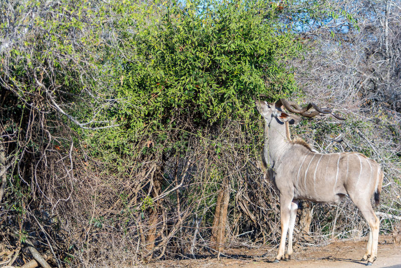 Kudu in het Nationale Park van Kruger, Zuid-Afrika stock foto's
