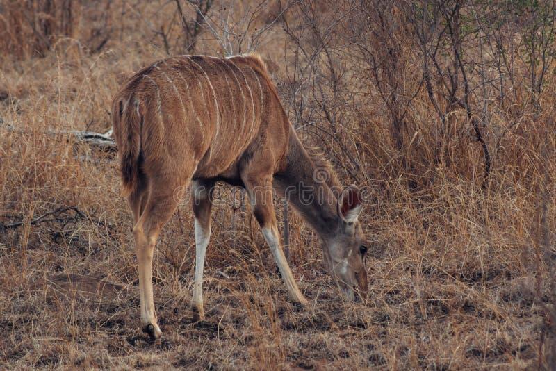 Kudu i den Kruger nationalparken Sydafrika royaltyfria bilder