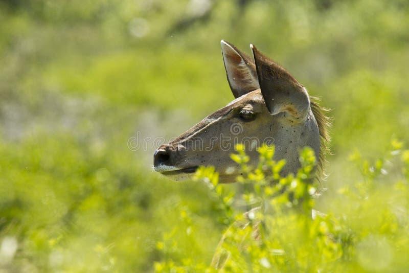 Kudu joven alerta imagen de archivo