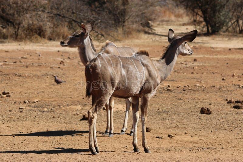 Kudu kvinnlig royaltyfria foton