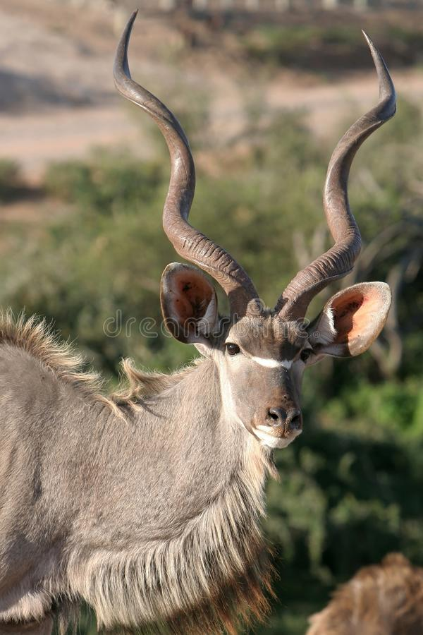 Download Kudu Male Buck stock photo. Image of park, african, male - 10531622