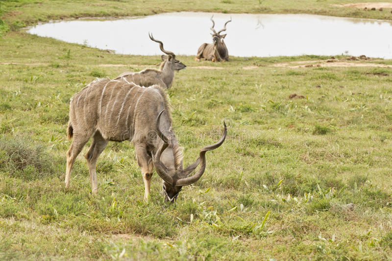 Kudu male eating grass next to a water hole. Kudu male with its head down eating grass next to a water hole and two others lying and resting stock image