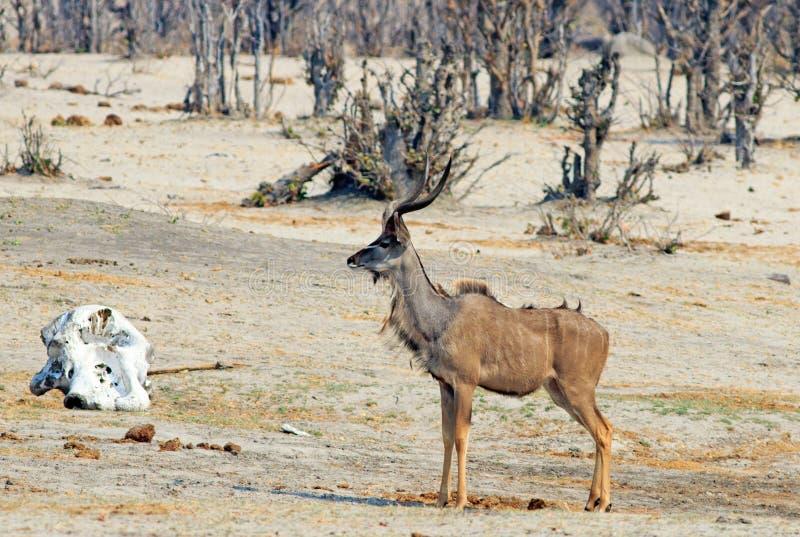 Kudu masculino grande que se coloca cerca de un cráneo del elefante foto de archivo