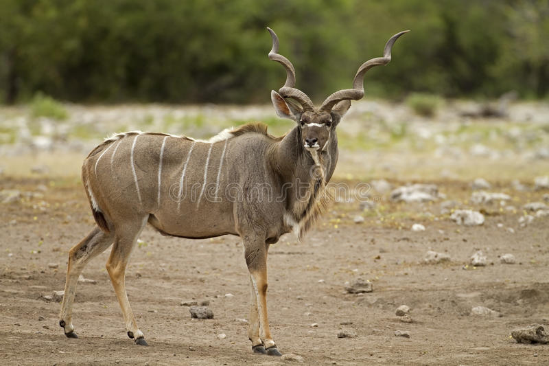 Kudu masculino que se coloca en campo foto de archivo libre de regalías